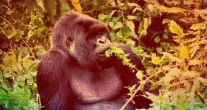 Alles was du über einen Besuch bei den Berggorillas in Ostafrika wissen musst