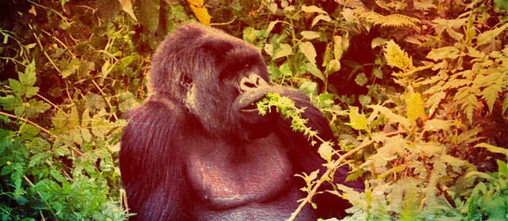 berg-gorillas-ostafrika