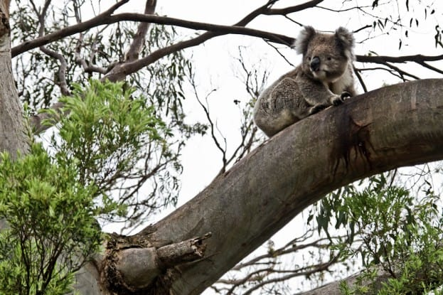 05_Great Otway NP_Koala
