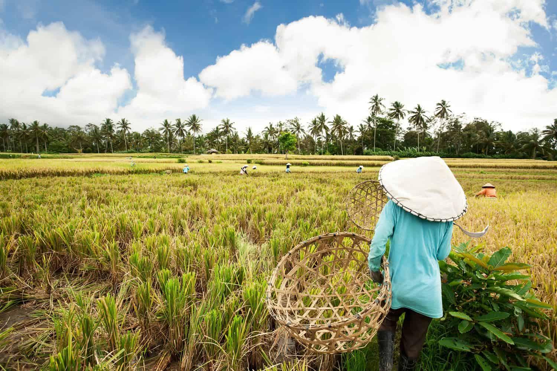 Indonesien Erdbeben – Reisfeld auf Bali wird bearbeitet