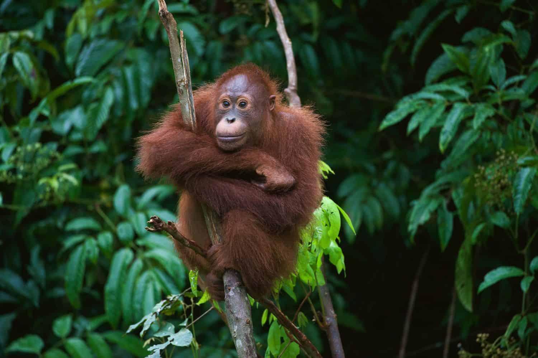 Reiseblog Indonesien Orang Utan auf Borneo