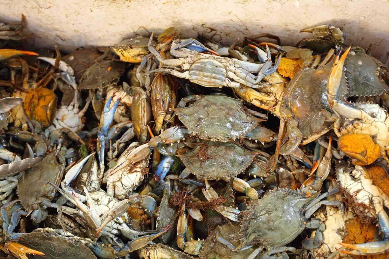 Fangfrischen Krabben in Buesum
