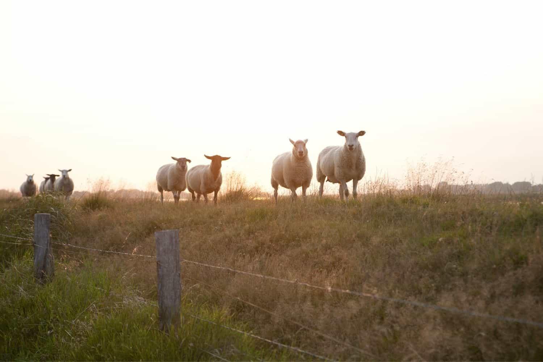 Nordsee Urlaub Schafen auf dem Deich